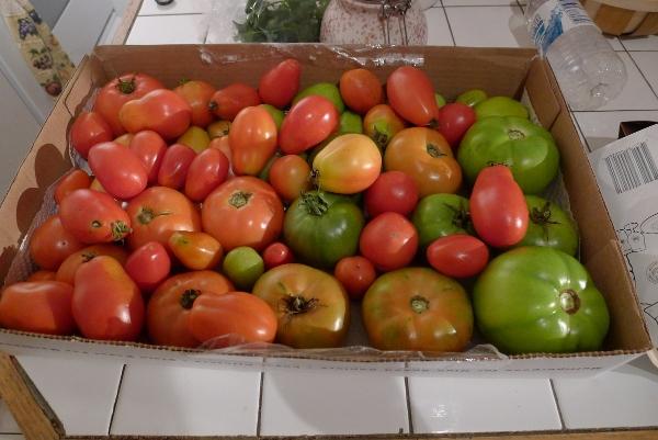 so many tomatoes